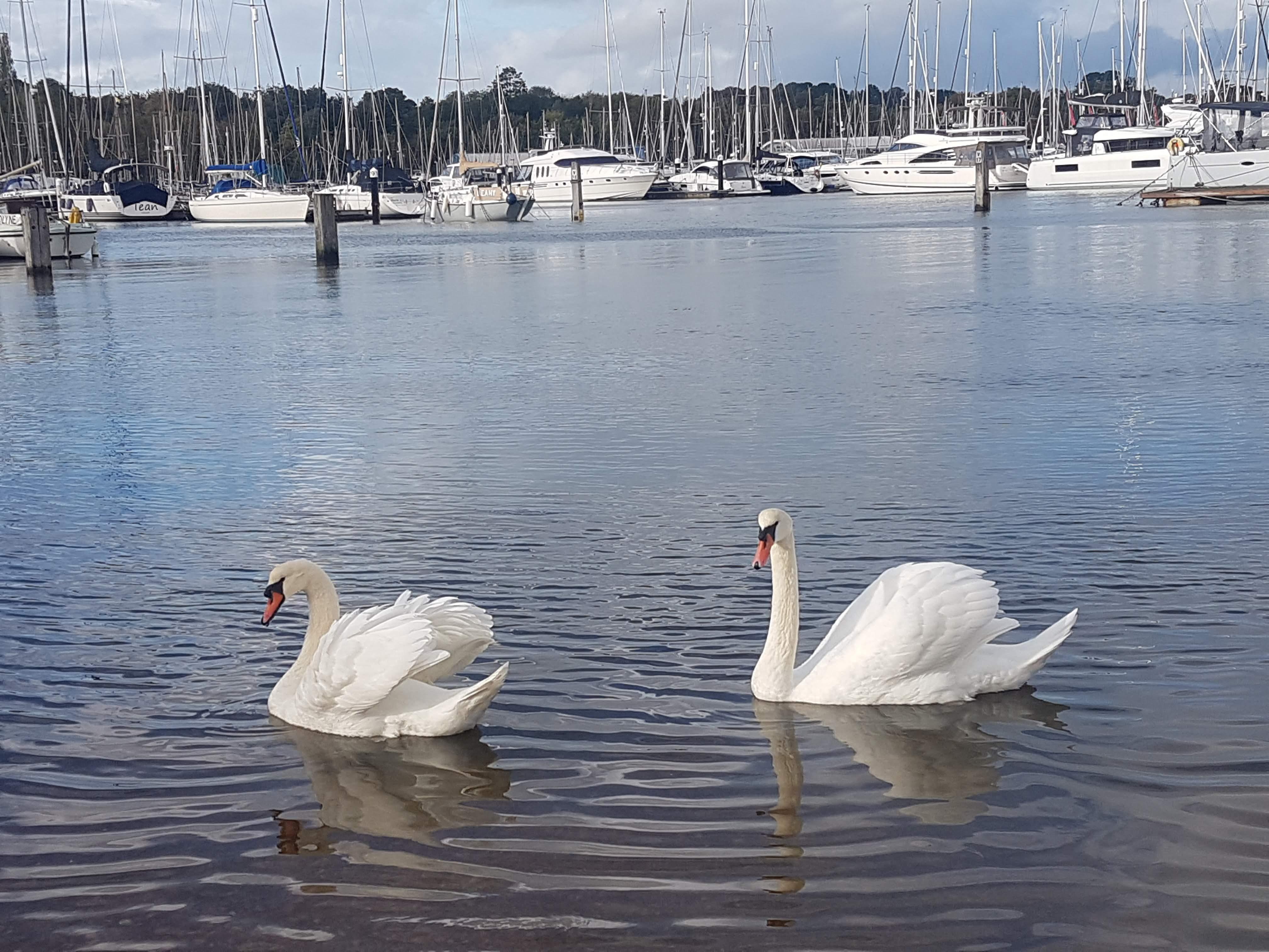 Kirstin White Swans in Bursledon